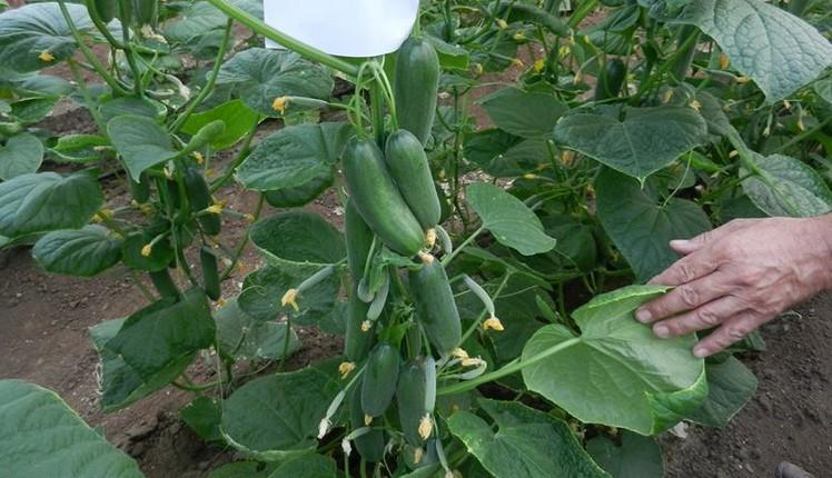 Cucumber Altronova